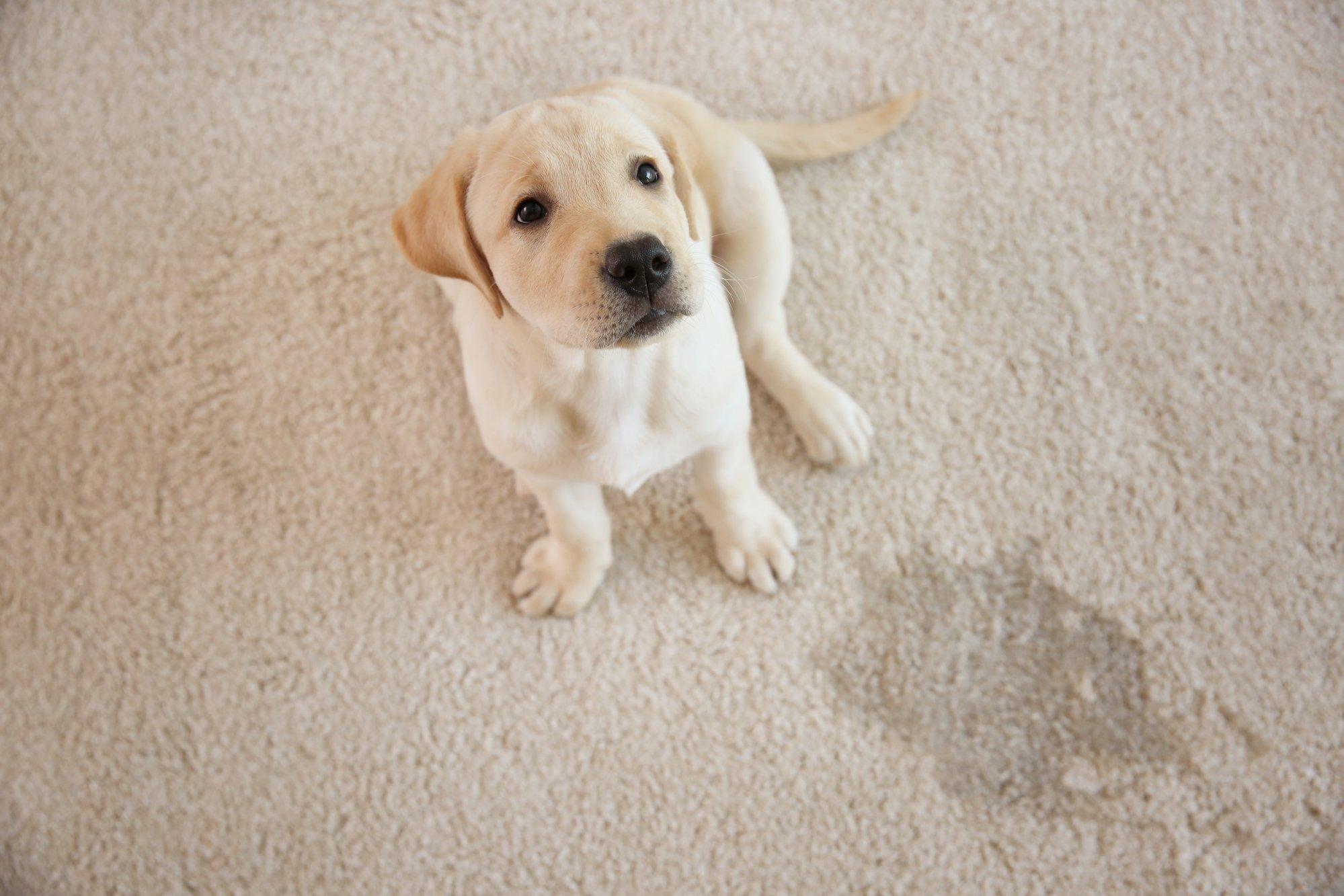 Cute puppy sitting on carpet