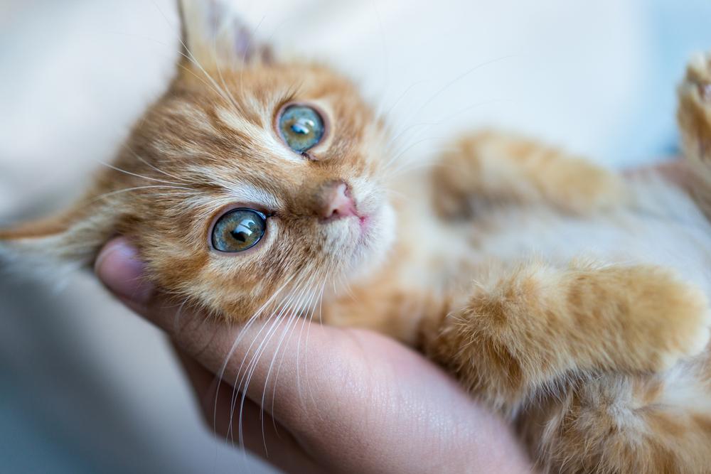 Portrait of kitty cat in hands