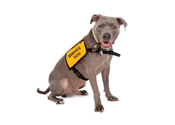 pitbull wearing service dog vest